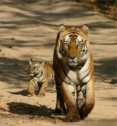 Você está andando na rua e ve um tigre!